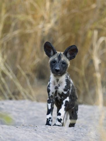 Latest Funny Pictures: African Wild Dogs New Pictures