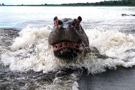 Terrified couple capture photograph of angry hippo after