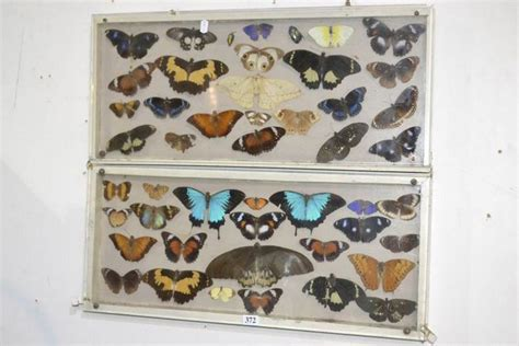 Collection of taxidermy butterflies in case - Natural
